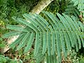 Acacia polyacantha, blaar, Walter Sisulu NBT.jpg