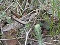 Acanthacris ruficornis Potberg.jpg