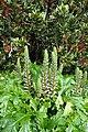 Acanthus mollis kz2.jpg