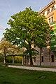 Acer platanoides, Berlin (20150511-DSC05137).jpg