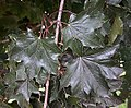 Acer platanoides Crimson King 4zz.jpg