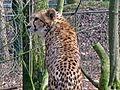 Acinonyx jubatus (Cheetah), Burgers zoo, Arnhem, the Netherlands.JPG