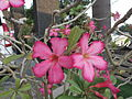 Adenium obescum-3-yercaud-salem-India.JPG