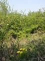 Adonis vernalis sl41.jpg
