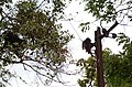 Adult lion-tailed macaque looking at the electrocuted infant in Valparai DSC 2550.jpg