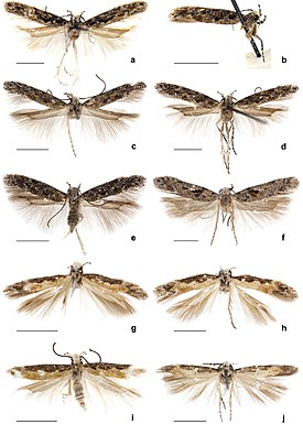 Adults of Neopalpa species.jpg