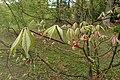 Aesculus parviflora kz12.jpg