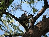 African Cuckoo.jpg