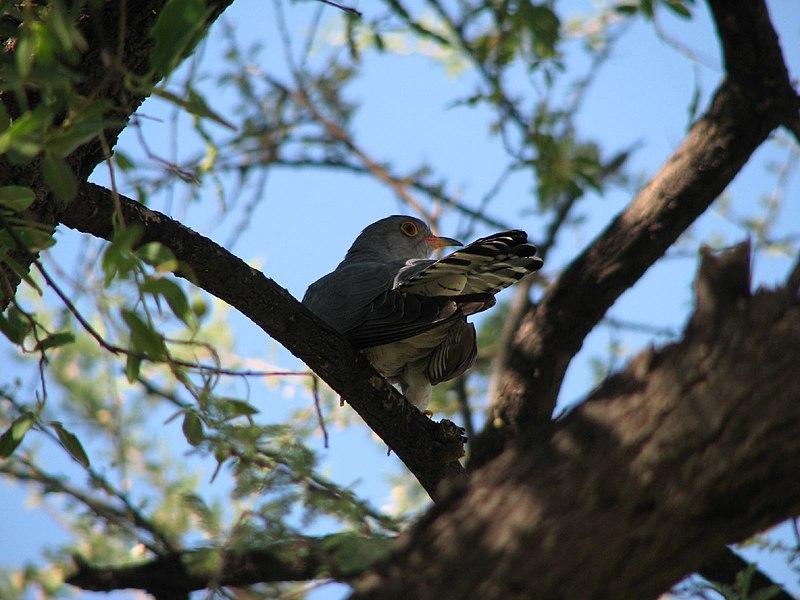 Ficheiro:African Cuckoo.jpg