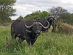 African buffalo (3)