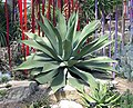 Agave.potatorum.kewgardens.london.arp.jpg