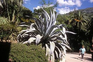 <i>Agave beauleriana</i> species of plant