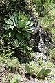 Agave potatorum (Asparagaceae) and Hechtia podantha (Bromeliaceae) (25478172761).jpg