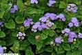 Ageratum houstonianum Hawaii Blue 1zz.jpg