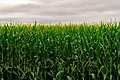 Agriculture - Corn FIeld (45691292921).jpg