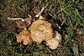 Agrocybe aegerita gljiva (2).jpg