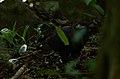 Aguililla Negra Menor, Common Black Hawk, Buteogallus anthracinus ?? (11915361863).jpg