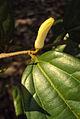 Alangium Salvifolium 20.JPG