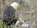 Albatross birds - Espanola - Hood - Galapagos Islands - Ecuador (4870987787).jpg