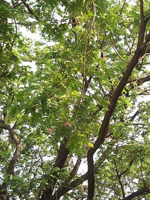 Albizia saman - Image: Albizia saman (Raintree) (2)