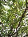 Albizia saman (Raintree) (2).jpg