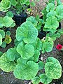 Alcea rosea 'Spotlight Blacknight' IMG 0668.jpg