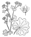 Alchemilla acutiloba illustration (01).png
