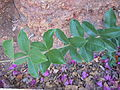 Allamanda blanchetii (Guadeloupe) feuilles..JPG