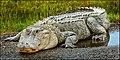 Alligator near Arkadelphia, AR.jpg