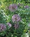 Allium cristophii BotGardBln 20170610 B.jpg