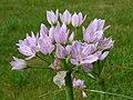 Allium roseum0.jpg