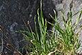 Allium scorodoprasum plant (08).jpg