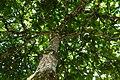 Almendro (Terminalia catappa) (14789601912).jpg
