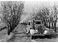 Almond Orchard, Brighton South Australia(GN05648).jpg