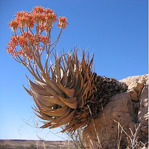 Aloe hereroensis am Auob Rivier in Namibia