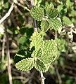 Aloysia wrightii 4.jpg