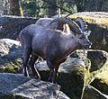 Alpensteinbock Capra ibex ibex Tierpark Hellabrunn-6.jpg