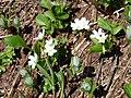 Alpine Spring beauty (bc0382e4af724e6d999599433715ad10).JPG