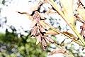 Alpinia sanderae 3zz.jpg