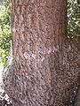 Alstonia constricta bark.jpg