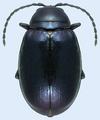 Altica chalybea UGA 5204082.png