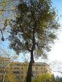 Alzina del passeig de Gràcia P1420898.JPG