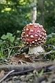 Amanita muscaria 2 (21266030704).jpg
