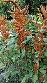 Amaranthus hypochondriacus L.-2F.jpg