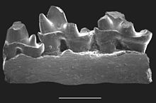 Jaw fragment with three cuspidate teeth