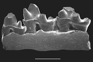 Yinotheria - Ornithorhynchus anatinus (Platypus)
