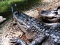 American Alligator (4532809046).jpg