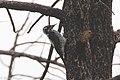 American Three-toed Woodpecker (female) Signal Burn Gila NF NM 2017-10-18 09-09-02 (24212680057).jpg