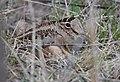 American Woodcock (33268915786).jpg