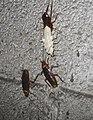 American cockroachs (Periplaneta americana).jpg